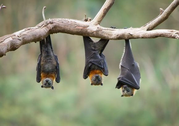 The virus was found to be 96% identical to a bat coronavirus (Image: Getty Images/iStockphoto)