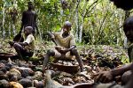 CHILD LABOUR RISING IN GHANA AND IVORY COAST'S COCOA FARMS - STUDY FINDS